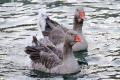 在湖的狂放的gooses 库存照片