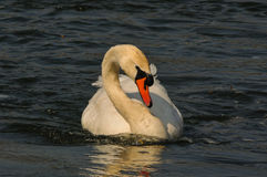 在湖的疣鼻天鹅游泳 免版税图库摄影