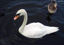 在湖的白色和灰色天鹅 免版税库存图片
