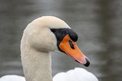 在湖的白色天鹅游泳 库存照片