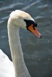 在湖的白色天鹅 免版税图库摄影