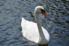 在湖的白色天鹅 库存照片