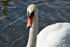 在湖的白色天鹅 免版税库存图片