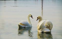 在湖的白色天鹅 免版税库存照片