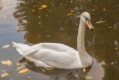 在湖的白色疣鼻天鹅在秋天 免版税库存图片