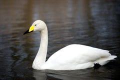 在湖的白色美洲天鹅游泳在伦敦 库存照片