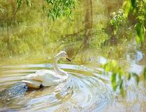 在湖的空白天鹅游泳 免版税库存照片