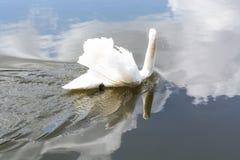 在湖的空白天鹅 免版税库存照片