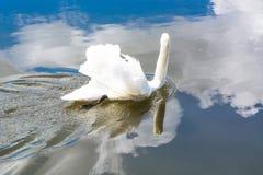在湖的空白天鹅 图库摄影