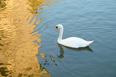 在湖的空白天鹅 免版税库存图片
