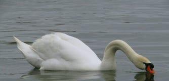 在湖的空白天鹅 免版税图库摄影
