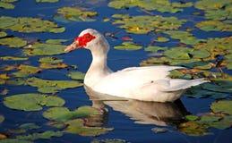 在湖的美丽的空白鸭子 免版税库存图片