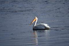 在湖的美国白色鹈鹕游泳 免版税图库摄影
