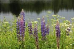 在湖的羽扇豆花 免版税库存图片