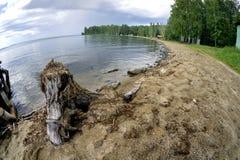 在湖的老木树桩 库存图片