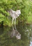 在湖的老狼有反射的 库存照片