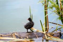 在湖的老傻瓜(骨顶属)刚孵出的雏 免版税库存照片