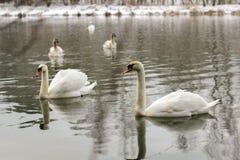 在湖的自然天鹅-降雪的冬天 库存图片