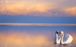 在湖的艺术美丽的两只白色天鹅 免版税库存照片