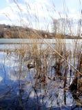 在湖的芦苇 免版税库存图片