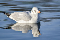 在湖的苗条开帐单的鸥 库存照片