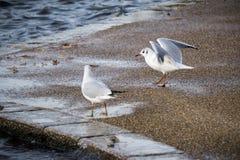 在湖的边缘的两只海鸥 库存照片