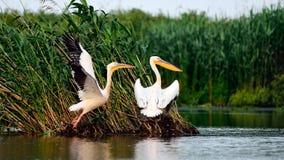 在湖的野生生物多瑙河三角洲的 免版税库存图片