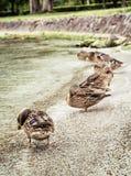 在湖的野生野鸭鸭子支持,自然场面 库存照片