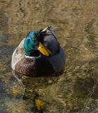 在湖的野鸭鸭子 免版税库存照片