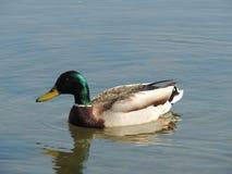 在湖的野鸭 库存照片