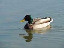 在湖的野鸭 库存图片