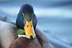 在湖的野鸭 免版税库存照片