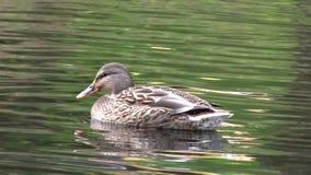 在湖的野鸭 股票视频
