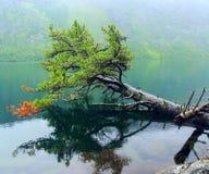 在湖的针叶树 免版税图库摄影