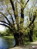 在湖的难以置信的树 免版税图库摄影