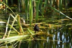 在湖的雌红松鸡小鸡 库存照片