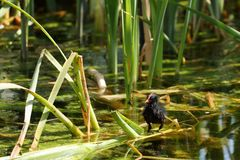 在湖的雌红松鸡小鸡 免版税库存照片
