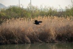 在湖的飞行乌鸦 免版税库存照片