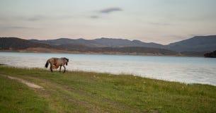 在湖的马 免版税库存照片