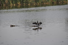 在湖的鸟 库存照片