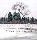 在湖的鸭子在公园 库存图片