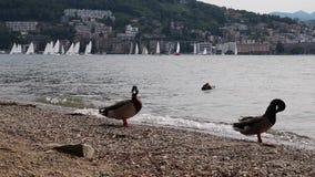 在湖的鸭子在卢加诺,瑞士支持 影视素材