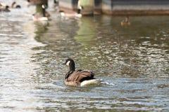 在湖的鸭子在马里兰 免版税图库摄影
