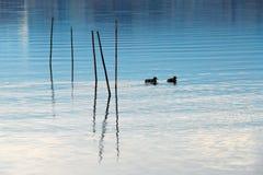 在湖的鸭子富士山的 库存图片