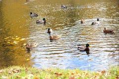 在湖的鸭子 秋天公园 Autumn美丽的湖 图库摄影
