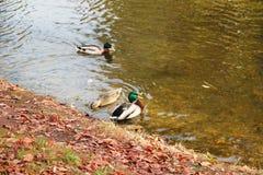 在湖的鸭子 秋天公园 Autumn美丽的湖 库存图片
