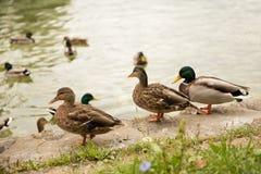 在湖的鸭子 免版税图库摄影