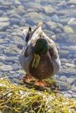 在湖的鸭子 库存图片