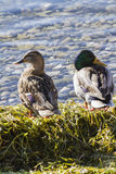 在湖的鸭子 图库摄影