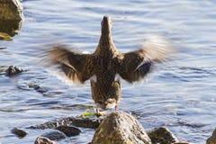 在湖的鸭子 免版税库存图片